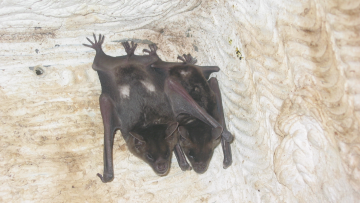 Vocal production learning in the pale spear-nosed bat, Phyllostomus discolor
